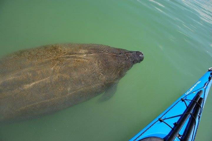 Manatee swimming along side a kayak