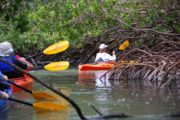 Maneuvering the Sarasota mangrove tunnels