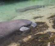 Manatees in the shallow Sarasota waters