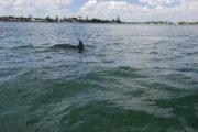 Dolphin surfacing in Sarasota Bay