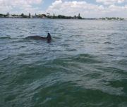 Dolphin surfacing in Sarasota Bay