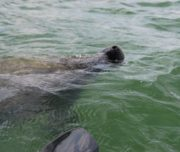 Manatee off Lido Key in Sarasota