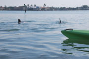 Dolphins playing in Sarasota Bay