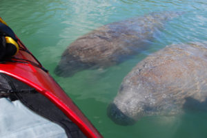 Two manatees checking out a kayak