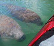 Manatees greeting kayak tour