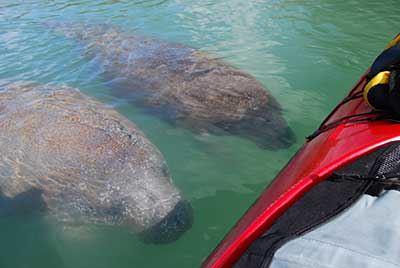 Manatees greeting kayak tour
